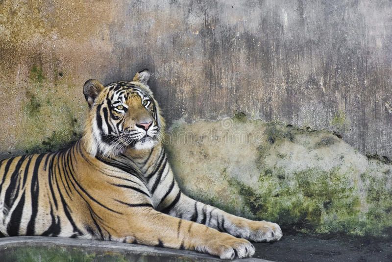 Download Asian Tiger Royalty Free Stock Images - Image: 16555449