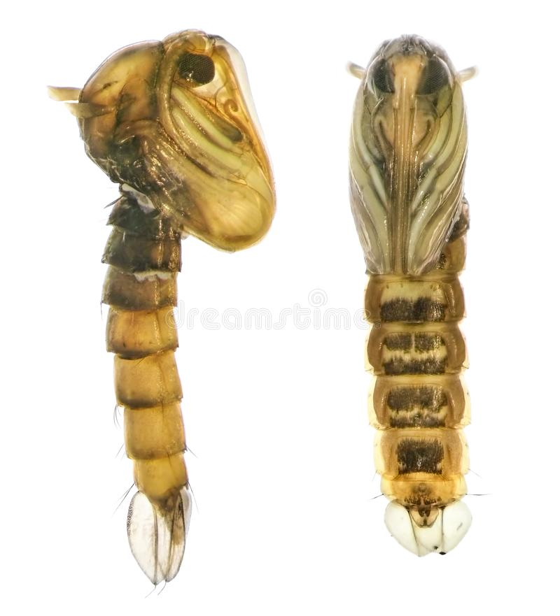 Asian tiger mosquito or forest mosquito. Aedes albopictus Stegomyia albopicta Diptera: Culicidae. Pupa. Lateral and vertral view. Isolated on a white stock image