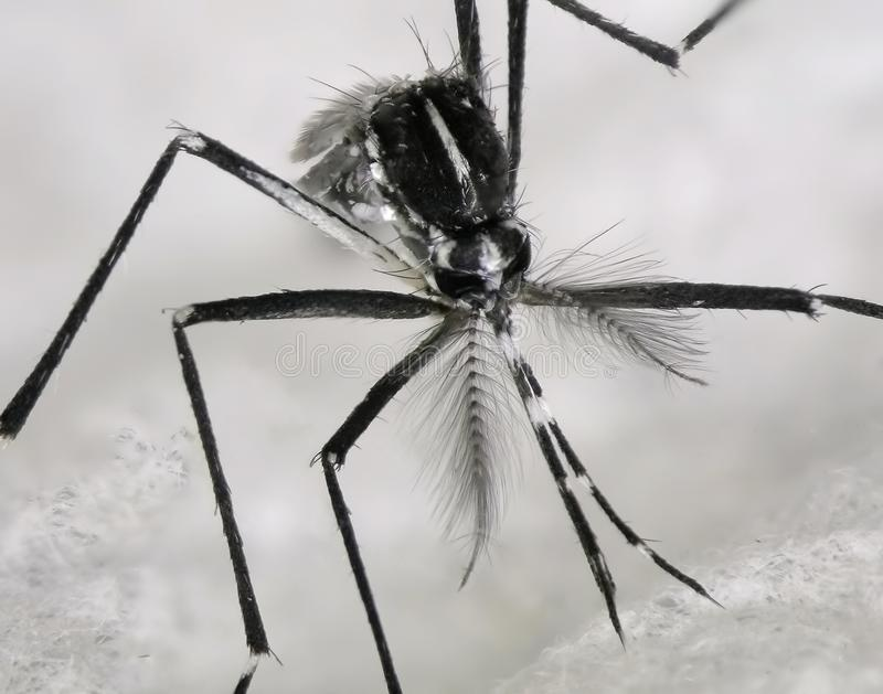 Asian tiger mosquito or forest mosquito. Aedes albopictus Stegomyia albopicta Diptera: Culicidae royalty free stock photography