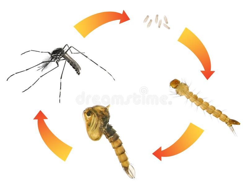 Asian tiger mosquito or forest mosquito royalty free stock image