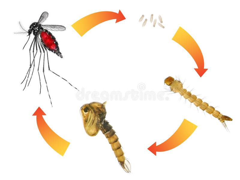 Asian tiger mosquito or forest mosquito stock photos