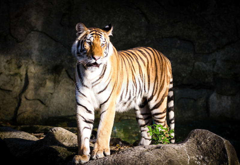 Asian tiger standing stock photos