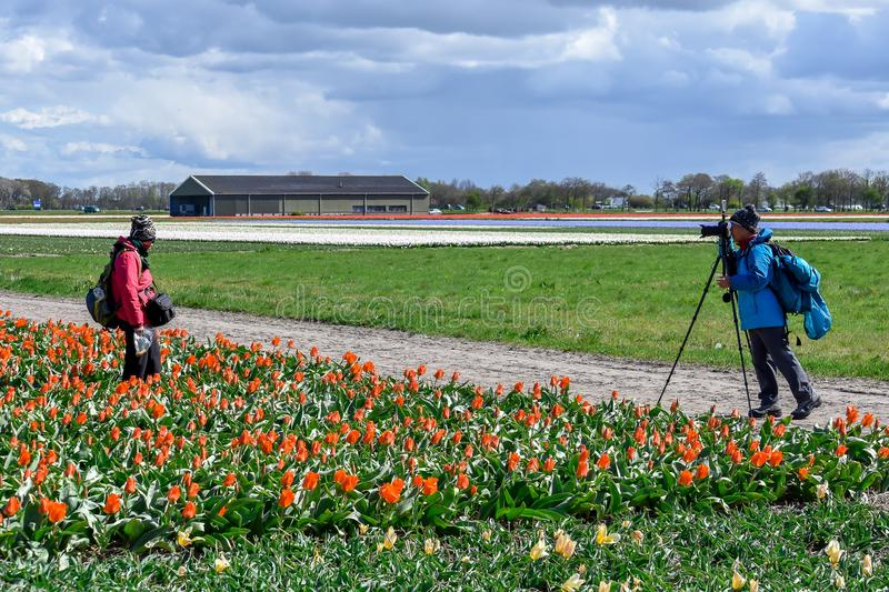 Asian tourist in a tulip field with red tulips taking a picture royalty free stock photo