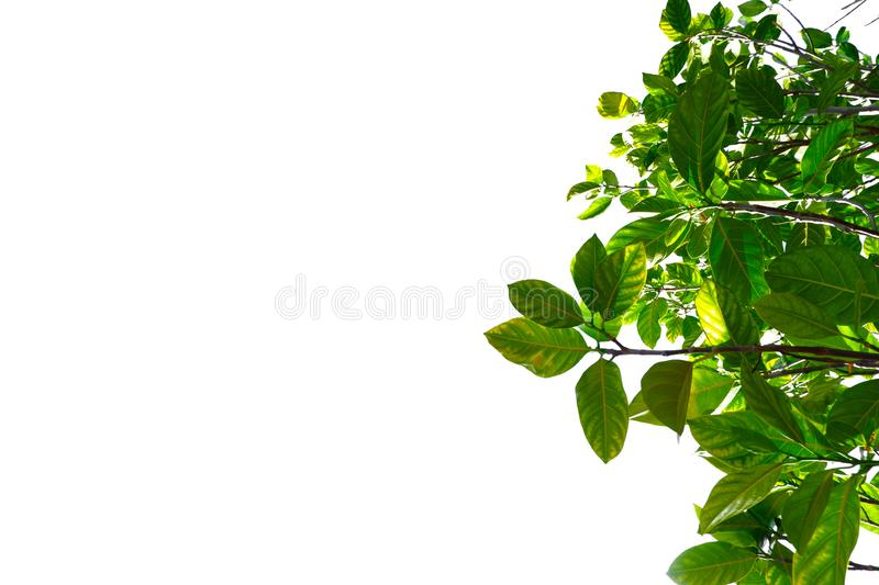 Asian tropical green leaves that isolated on a white background royalty free stock photos