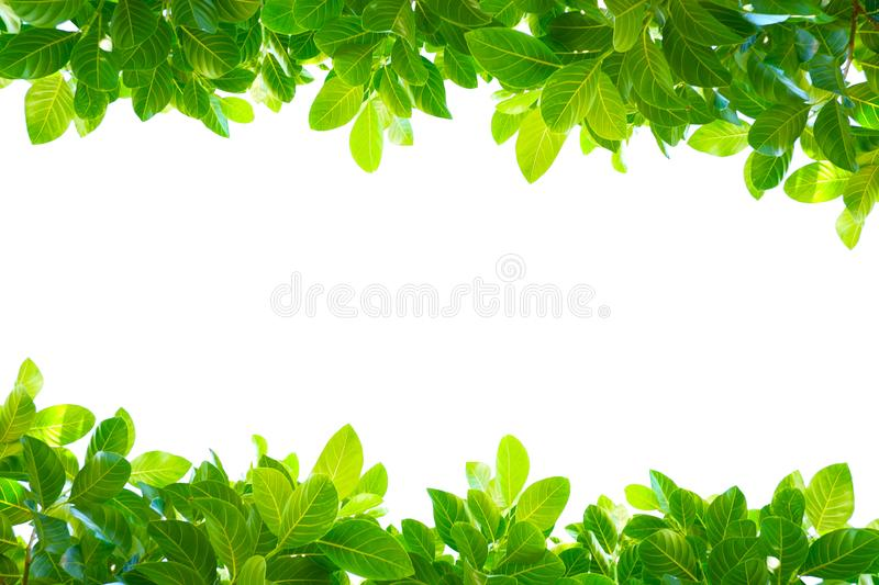Asian tropical green leaves that isolated on a white background stock images