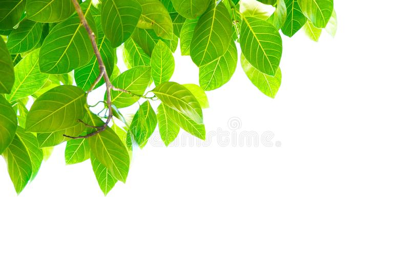 Asian tropical green leaves that isolated on a white background royalty free stock photography