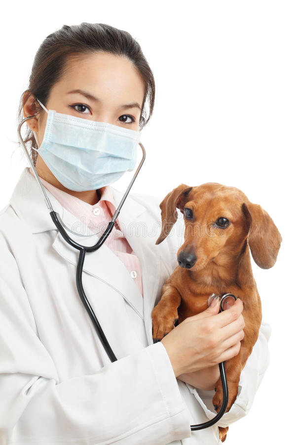Asian veterinarian with dachshund dog. Isolated on white background stock images