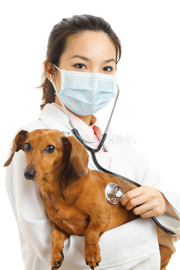 Asian veterinarian with dachshund dog. Over white background royalty free stock images