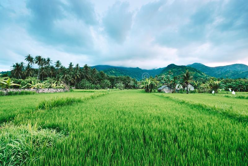 Asian village landscape farm paddy green valley. Farm paddy green valley, asian village landscape, beautiful view of rice fields and volcano hills royalty free stock images