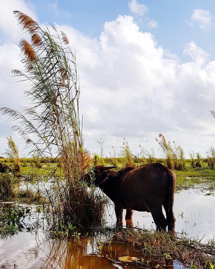 Asian water buffalo royalty free stock photo