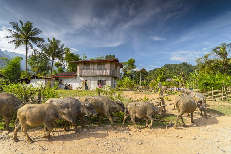 Asian water buffalo Bubalus bubalis in front of Lao village, Laos.  royalty free stock photo