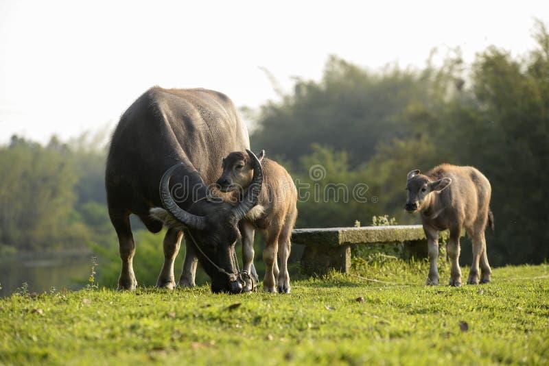 Asian water buffalo. Asian tropical water buffalo in grassland,China stock photos