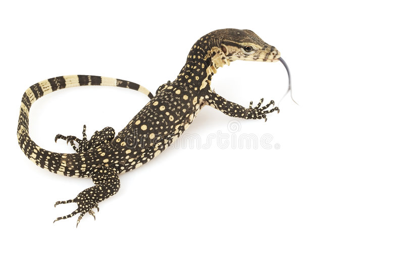 Asian Water Monitor Lizard. (Varanus salvator) on white background royalty free stock image