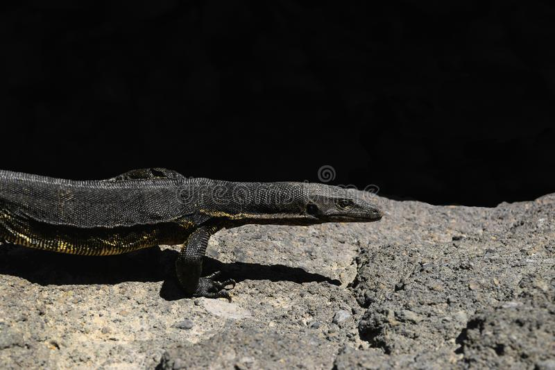 Asian water monitor lizard walking on rocky land in Bali, Indonesia stock photography