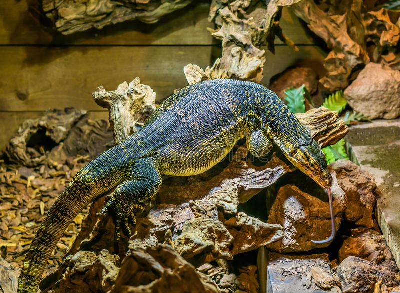Asian water monitor sticking its tongue out, big tropical lizard from Asia royalty free stock photos