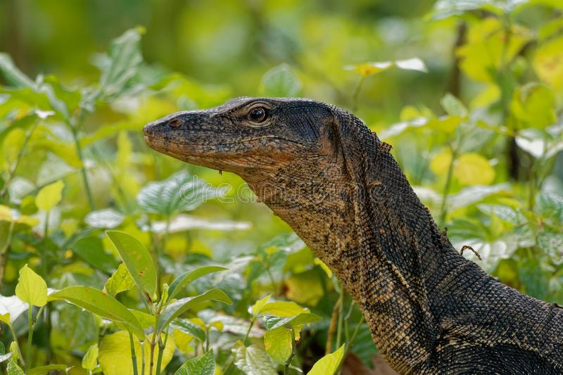 Asian water monitor - Varanus salvator also common water monitor, large varanid lizard native to South and Southeast Asia royalty free stock photography