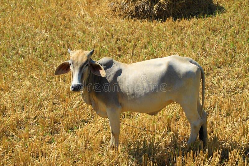 Asian white cow in farmland