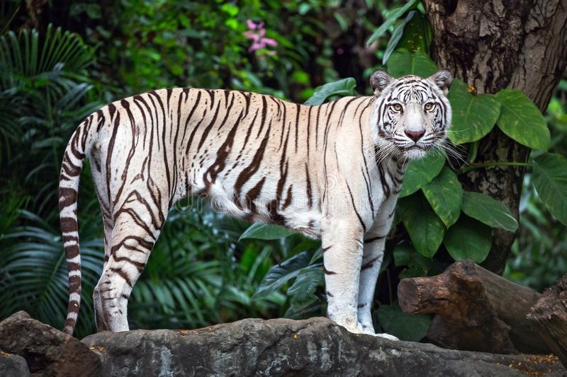 Asian white tigers stand on rocks in the natural atmosphere. royalty free stock image