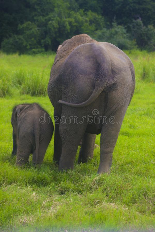 Asian wild Eliphant - Sri lanka minneriya national park royalty free stock image