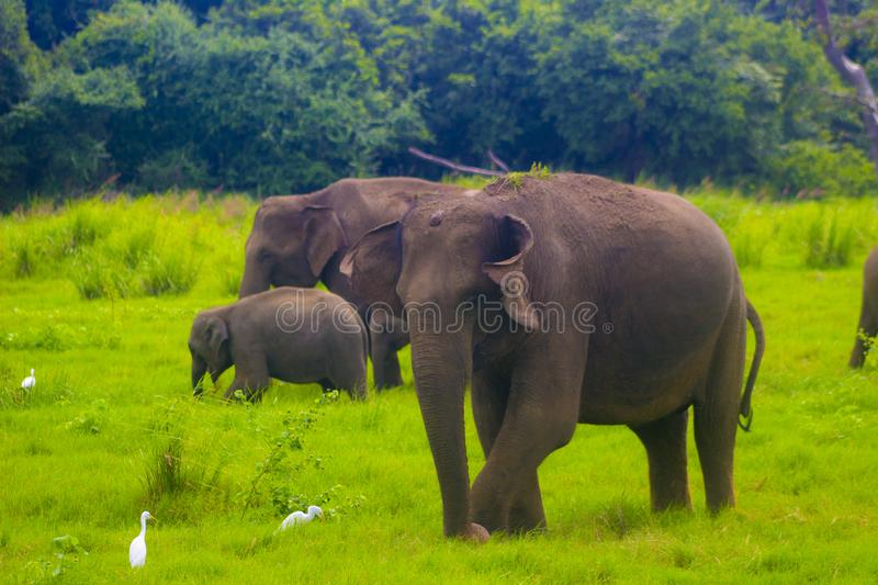 Asian wild Eliphant - Sri lanka minneriya national park royalty free stock photos