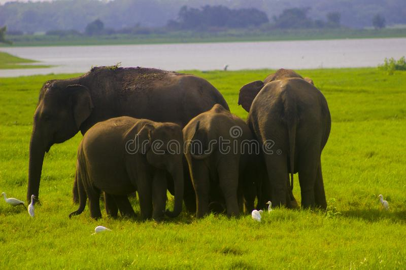 Asian wild Eliphant - Sri lanka minneriya national park stock photography