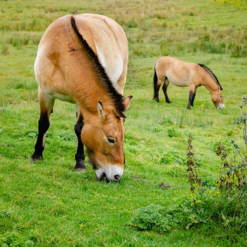 Asian Wild Ponies Grazing stock photo