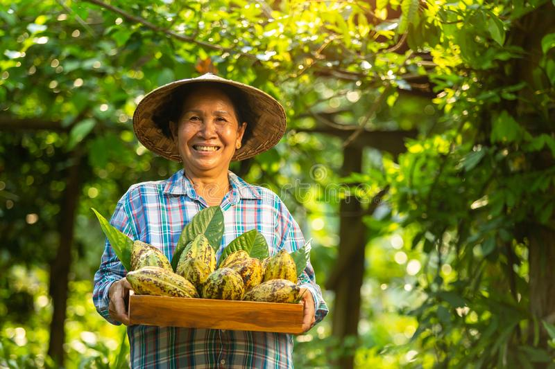Asian Woman farmer holds the cocoa fruit in the crate with a happy smile royalty free stock photos