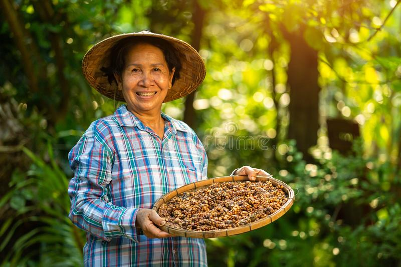 Asian Woman farmer holds the Kopi luwak or civet coffee with a happy smile, Kopi luwak or civet coffee on the coffee leaf royalty free stock photo