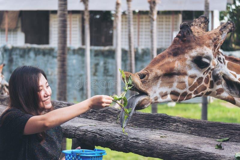 An Asian woman feeding fresh vegetable to a baby giraffe. In the zoo stock photos