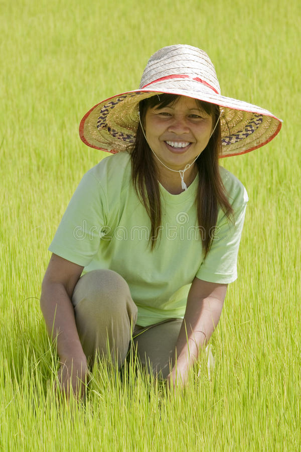 Asian woman in the rice field, Thailand royalty free stock images