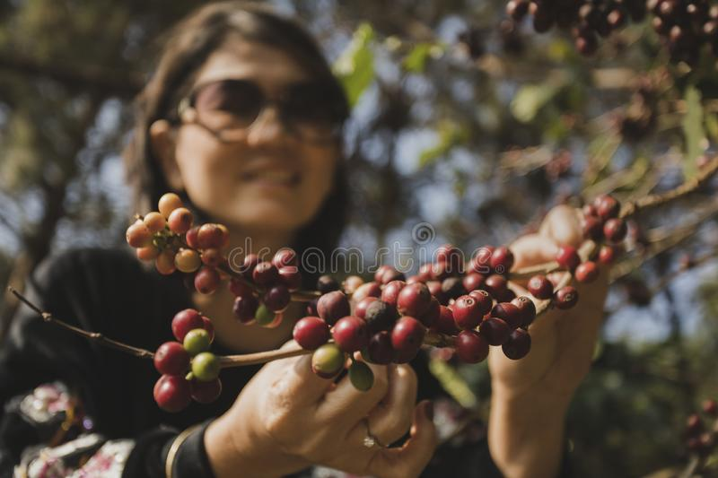 Asian woman smiling face happiness emotion near raw coffee seed on tree branch royalty free stock photo