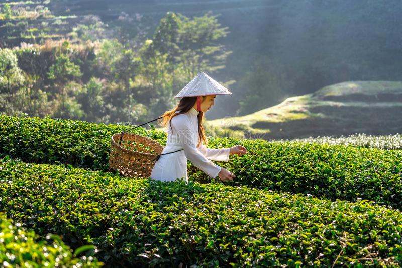 Asian woman wearing Vietnam culture traditional in green tea field stock image