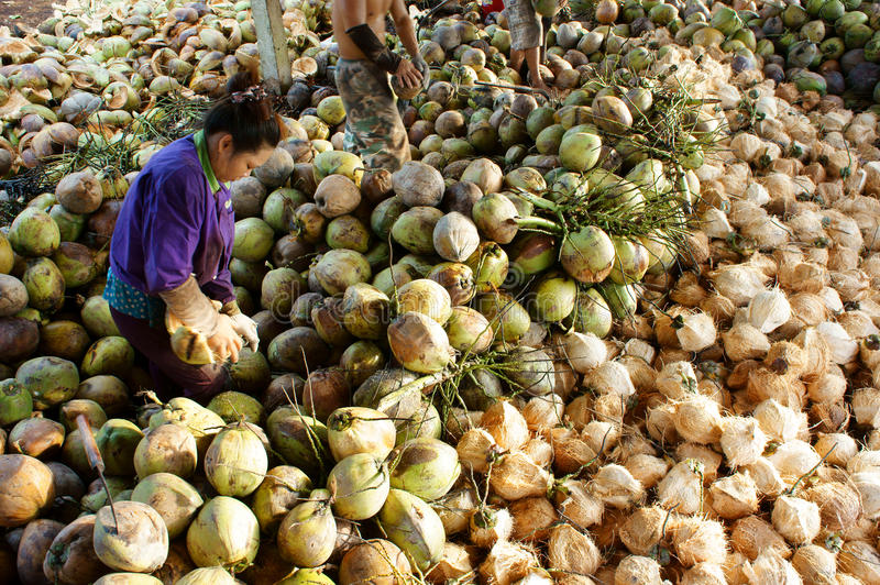 Asian worker, coconut, Vietnamese, Mekong Delta royalty free stock photography