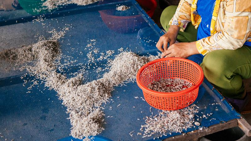 Asian worker prepare salted sun dried fish in local factory stock images