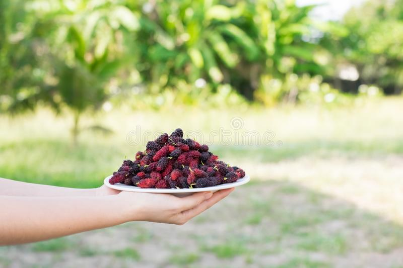 Asian young woman holding fresh mulberry fruits with very useful for the treatment and protect of various diseases, organic fresh. Ripe fruit royalty free stock photos