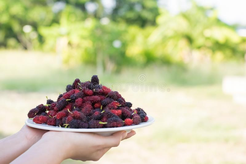 Asian young woman holding fresh mulberry fruits with very useful for the treatment and protect of various diseases, organic fresh. Ripe fruit stock photos