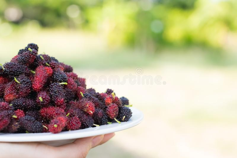 Asian young woman holding fresh mulberry fruits with very useful for the treatment and protect of various diseases, organic fresh. Ripe fruit stock images