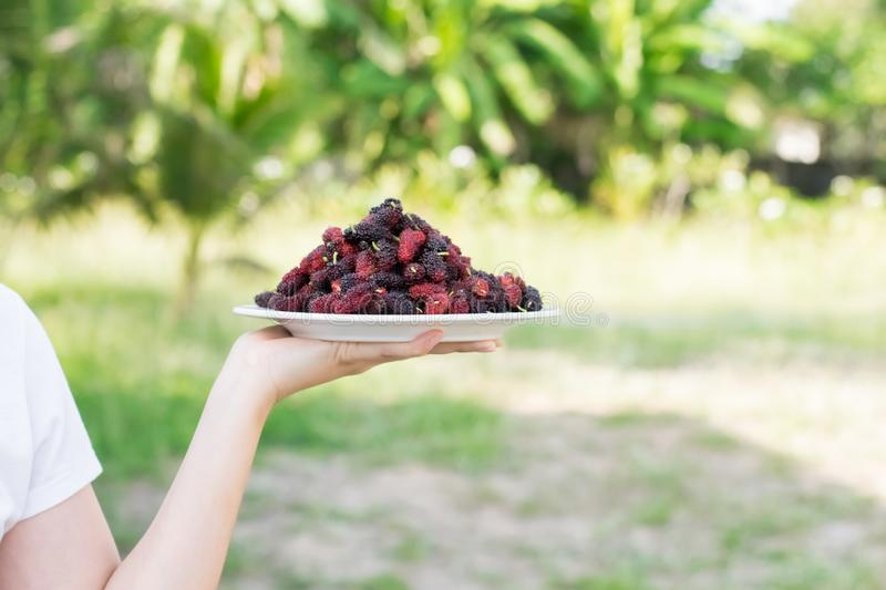 Asian young woman holding fresh mulberry fruits with very useful for the treatment and protect of various diseases. Asian young woman holding fresh mulberry royalty free stock photo