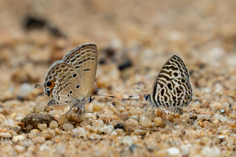 Asian Zebra Blue and Plains Cupid butterflies sticking out proboscis to draw water from wet sand royalty free stock images