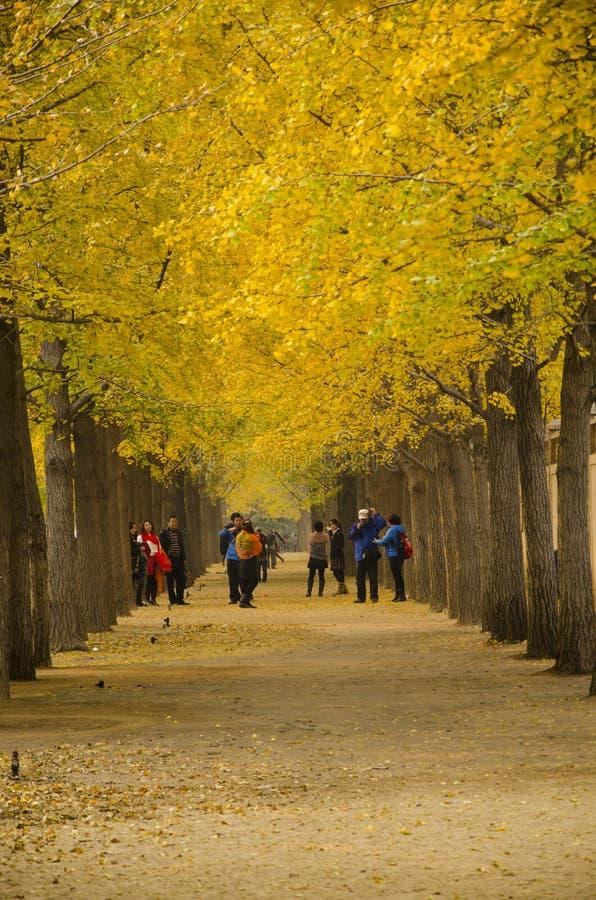 Asiat Kina, Peking, ginkgolandskapaveny royaltyfri bild