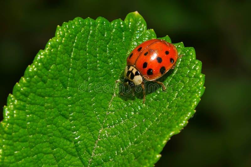 Asiat Ladybeetle - harmoniumaxyridis royaltyfri foto