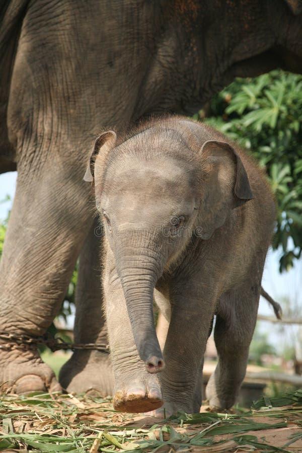 Asiatet behandla som ett barn elefanten och modern Elefanten är ett djurlivdjur, men de är mycket gulliga royaltyfri foto