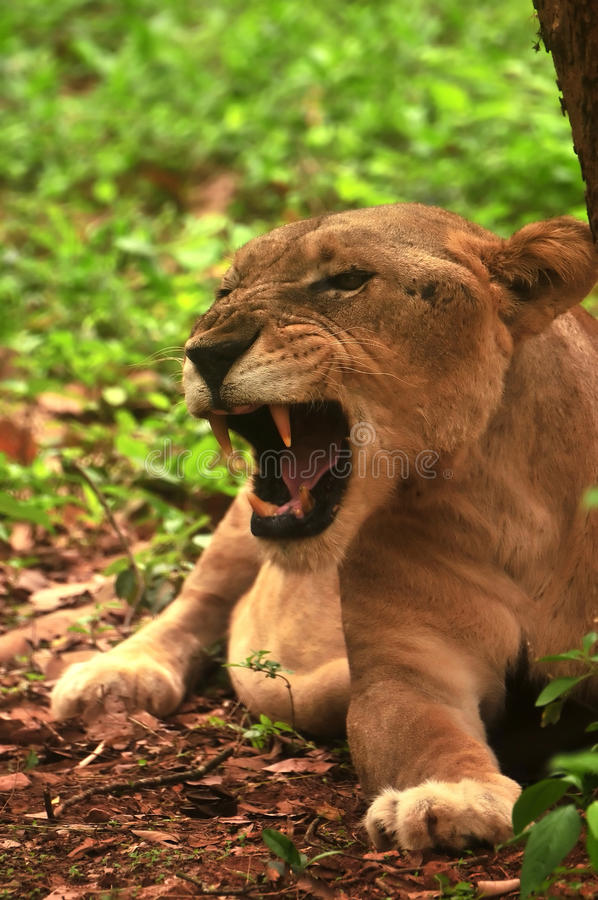 asiatic львица стоковое фото