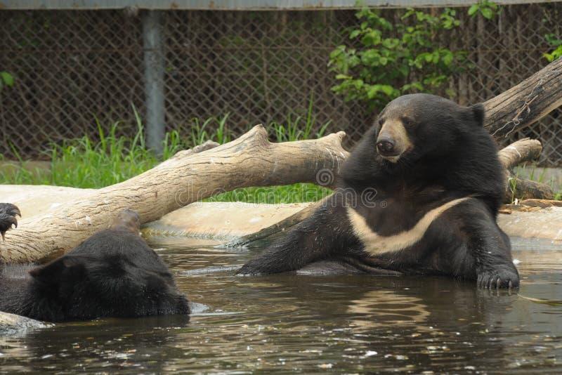 Asiatic черный медведь ослабляет в тазике. стоковые изображения