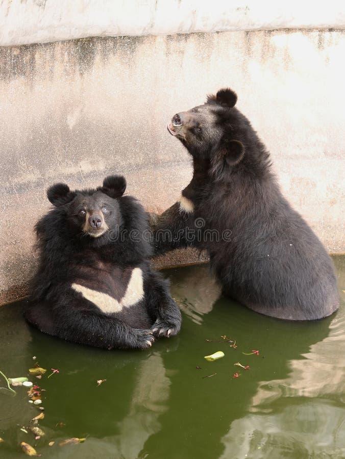 Asiatic black bear. At Samut Prakan Crocodile Farm and Zoo, Thailand royalty free stock photography