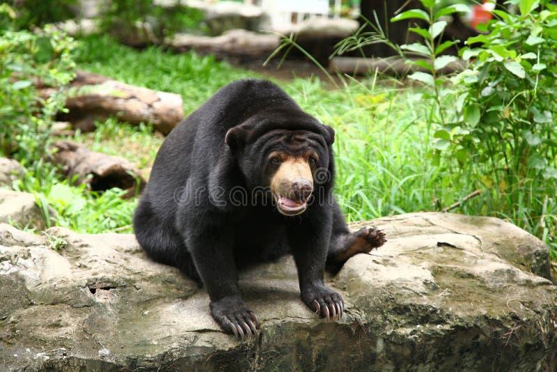 Asiatic black bear sit on stone in zoo. Asiatic black bear sit on stone in Thailand zoo stock photo