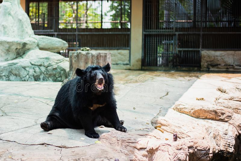 asiatic black bear sitting on rock stock photography