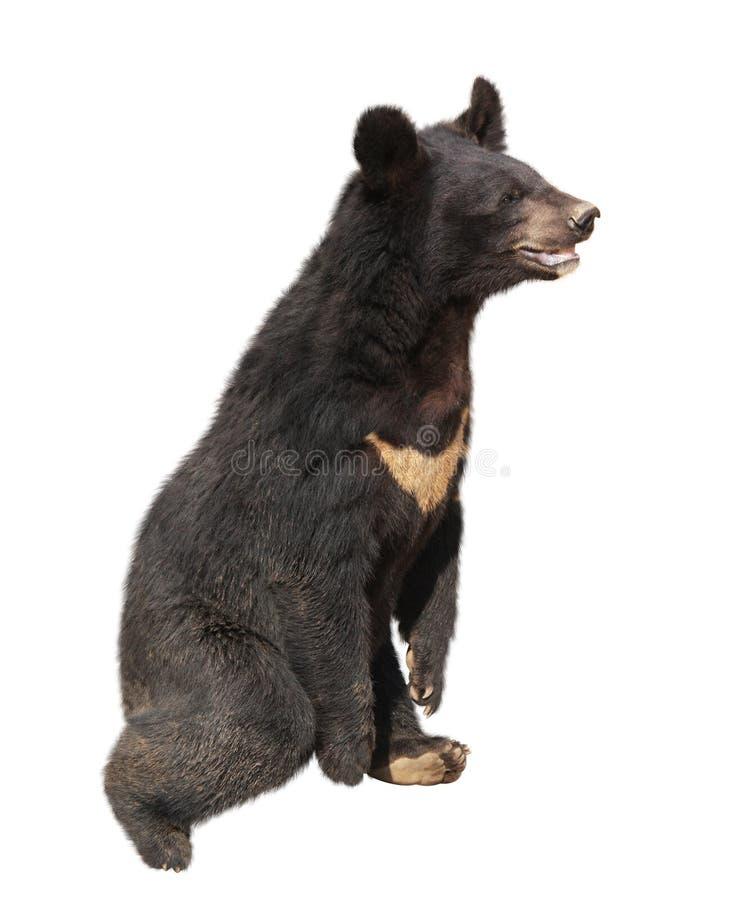 Asiatic czarnego niedźwiedzia himalajski niedźwiedź, ursus thibetanus zdjęcia stock