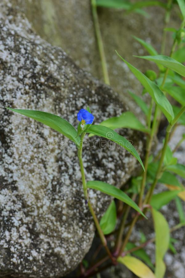 Asiatic dayflower stock images