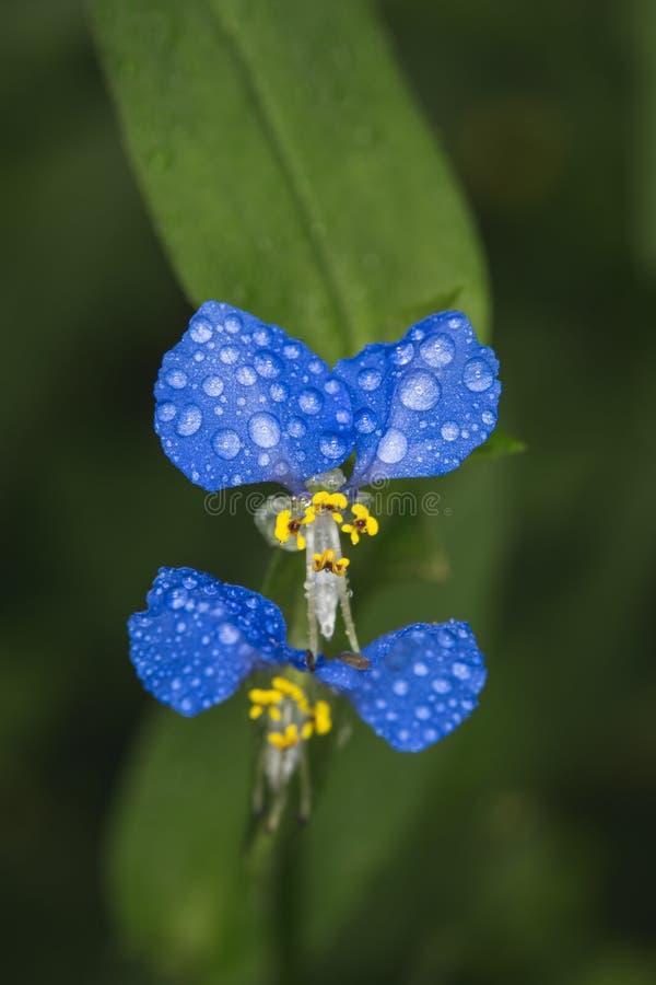 Asiatic Dayflower stock photos
